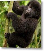Endangered Mountain Gorillas Habitate Metal Print