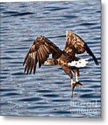 European Fishing Sea Eagle 4 Metal Print