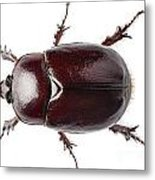 European Rhinoceros Beetle Female  Metal Print