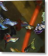 Fancy Guppys Metal Print