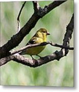 Female American Goldfinch Metal Print