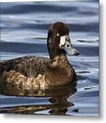Female Scaup Metal Print