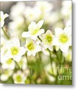 Field Of White Blossoms Metal Print