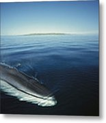 Fin Whale In Sea Of Cortez Metal Print