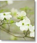 Flowering Dogwood (cornus Florida) Metal Print