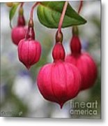 Fuchsia Named Dark Eyes Metal Print