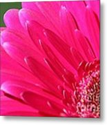 Gerbera Daisy Named Raspberry Picobello Metal Print