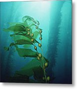Giant Kelp Macrocystis Pyrifera Forest Metal Print