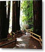 Giant Redwoods Metal Print
