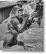 Gorilla Eats Black And White Metal Print