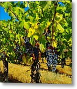 Grapes On The Vine Metal Print by Jeff Swan