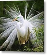 Great White Egret In Breeding Plumage Metal Print