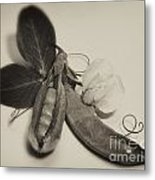 Green Peas In Pod With White Flower Metal Print
