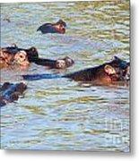 Hippopotamus Group In River. Serengeti. Tanzania. Metal Print