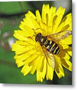 Hoverfly On Dandelion Metal Print