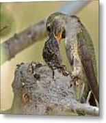 Hummingbird Babies Metal Print