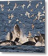 Humpback Whales Feeding With Gulls Metal Print