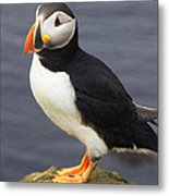 Iceland Puffin Metal Print