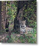 Jaguar Panthera Onca, Pantanal Metal Print