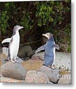 Juvenile Nz Yellow-eyed Penguins Or Hoiho On Shore Metal Print