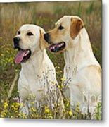 Labrador Retriever Dogs Metal Print