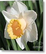 Large-cupped Daffodil Named Mrs. R.o. Backhouse Metal Print