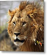 Large Male Lion Emerging From The Bush Metal Print