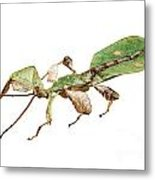 Leaf Insect Species Phyllium Bioculatum Male Metal Print