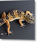 Leopard Gecko Eublepharis Macularius Metal Print