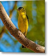 Lesser Goldfinch Metal Print