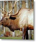 Male Elk Metal Print