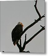 Looking Up To Bald Eagle's Metal Print