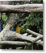 2 Macaws Framed By Tree Branches Inside The Jurong Bird Park Metal Print