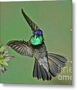 Magnificent Hummingbird Metal Print