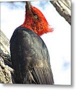 Male Magellanic Woodpecker Metal Print