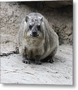 Rock Hyrax Headshot Metal Print