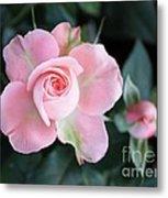 Miniature Pink Roses Metal Print