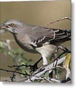 Mocking Bird With Ripe Hackberry Metal Print