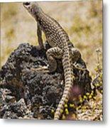 Mojave Desert Iguana Metal Print