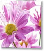 Mums Flowers Against White Background Metal Print