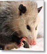 North American Opossum In Winter Metal Print
