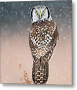 Northern Hawk Owl Metal Print