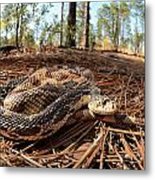 Northern Pine Snake Metal Print