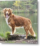 Nova Scotia Duck Tolling Retriever Metal Print