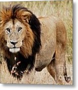 Old Lion Metal Print by Alan Clifford