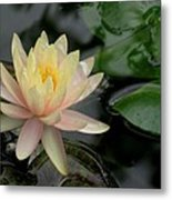 Once A Pond A Water Lily Metal Print