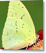 Orange Barred Sulfur Butterfly Metal Print