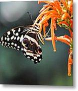 Orchard Swallowtail Metal Print