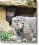 Pallas Cat Metal Print