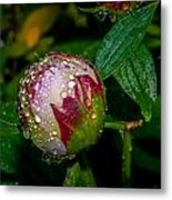 Peony With Rain Drops Metal Print